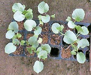 植え替え時期の苗