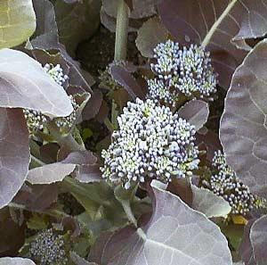 収穫時期の花蕾