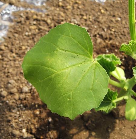 プリンス メロンの苗の萎れ