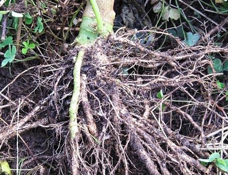 トルバムビガー台木の綺麗な状態の根