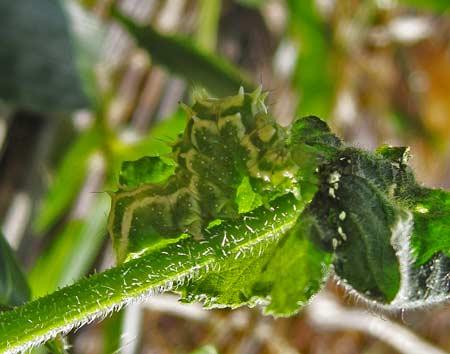 ウリキンウワバの老熟幼虫