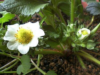 2番花房の花