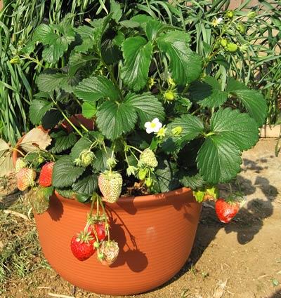 色ずき始めた鉢栽培のイチゴ